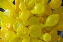 yellowclosechifav
